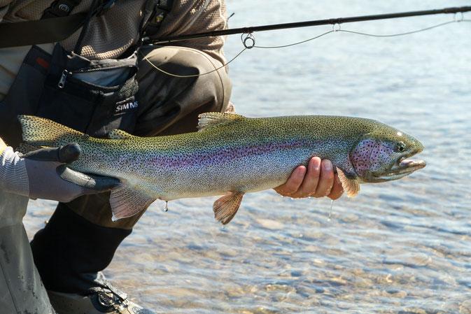 Huge Rainbowtrout Moraine Creek Mousing