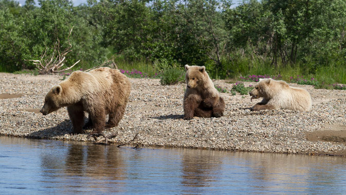 Brown Bear Morain Creek Alaska