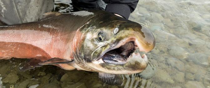 Coho Salmon Kanektok River