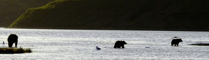 Kodiak Brown Bears Alaska