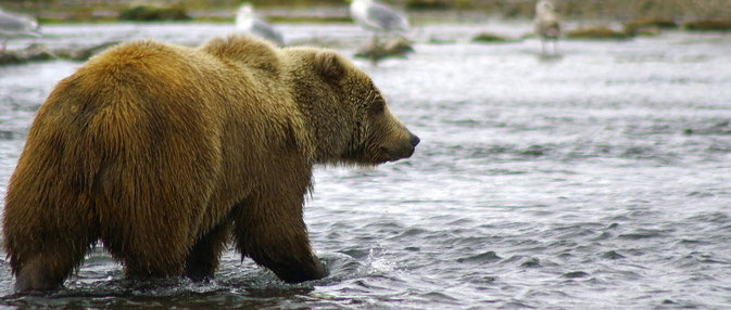 Kodiak Bear Karluk River, Alaska, Kodiak
