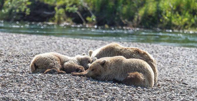 Brown Bear Moraine Creek Alaska