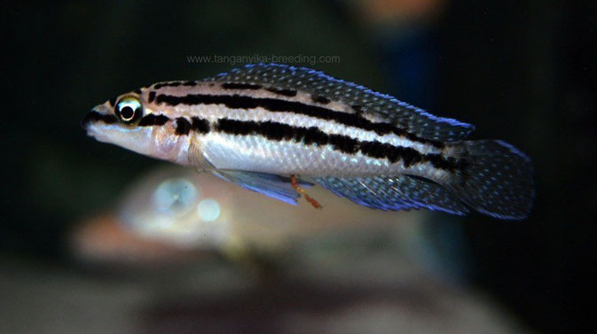 Julidochromis, Julidochromis dickfeldi