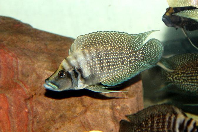 altolamprologus, altolamprologus calvus, altolamprologus calvus white, альтолампрологус, альтолампрологус кальвус