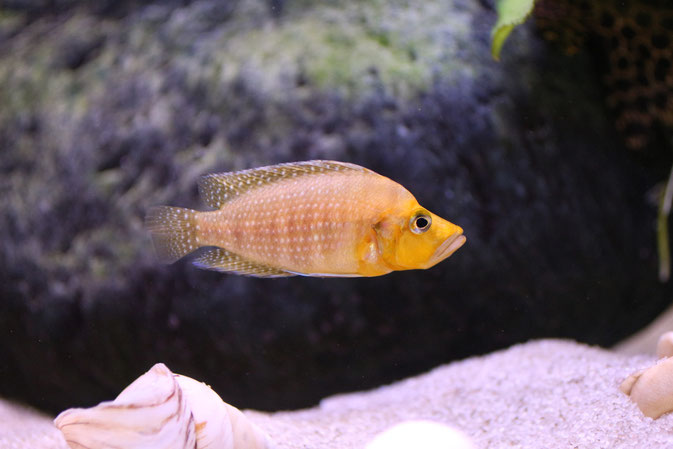Altolamprologus compressiceps gold head 'Mutondwe'