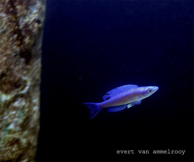 cyprichromis, cyprichromis leptosma blue tail
