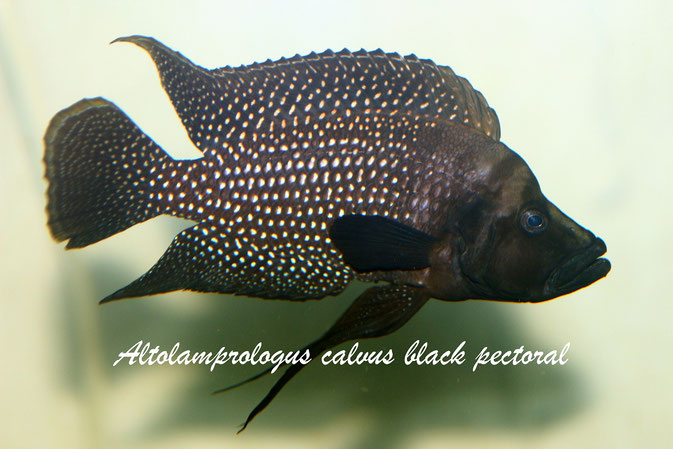 Картинки по запросу Altolamprologus calvus 'black pectoral'