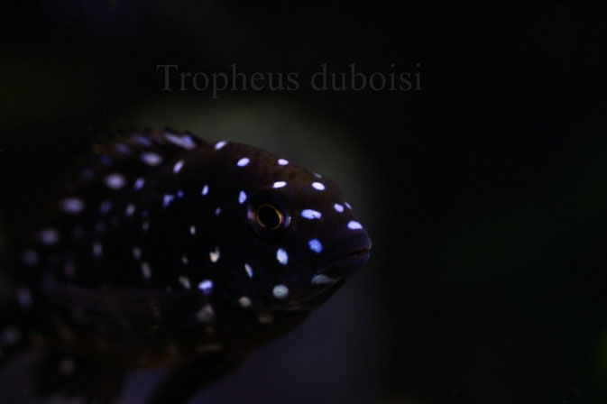 "tropheus, tropheus duboisi, tropheus duboisi ""Maswa"""