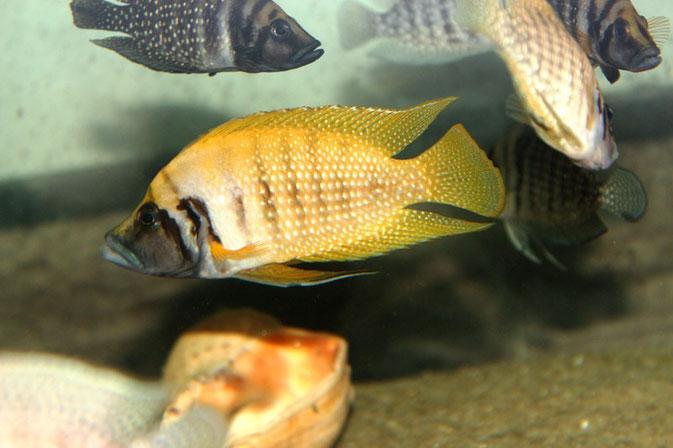 altolamprologus, altolamprologus calvus, altolamprologus calvus yellow, альтолампрологус, альтолампрологус кальвус, альтолампрологус кальвус еллоу