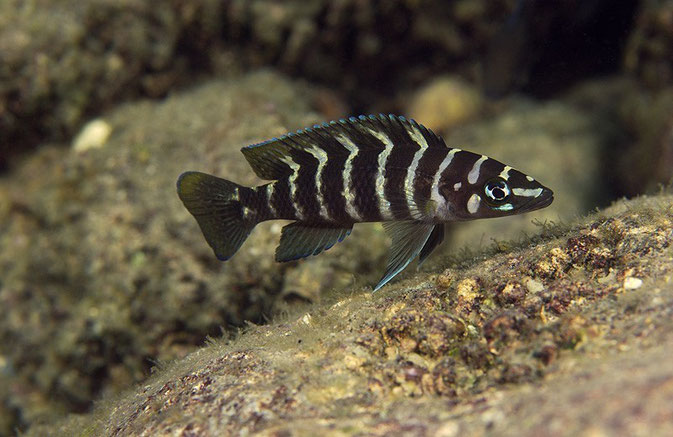 Neolamprologus Cylindricus Неоламп�...