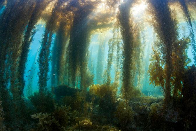 天草 御所浦島の春の海中風景 アカモクの森写真