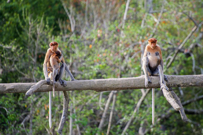 Proboscis monkeys, Sepilok, Borneo - The Ultimate 3 Day Guide To Visiting Sepilok, Borneo  © Nussbaumer Photography @nussbaumerphoto @Mafambani