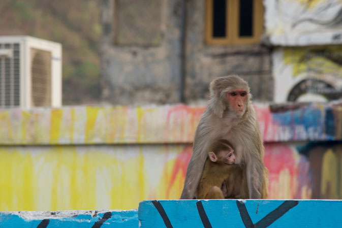 Monkey mother and monkey baby in Rishikesh, India © Nussbaumer Photography 2015