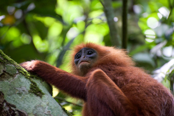 © Nussbaumer Photography - Red Leaf Monkey, Gomantong caves www.nussbaumerphotography.com
