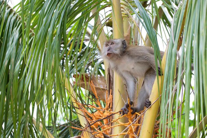 Monkey on Tioman Island, Malaysia - 10 Reasons Why I fell In Love With Tioman Island © Nussbaumer Photography @Mafambani @nussbaumerphoto