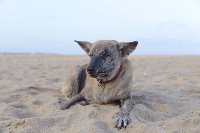 Beach dog, Sri Lanka