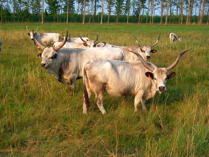 Langhorn - Rinder in Ruzsa