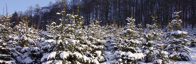 Weihnachtsbaumverkauf auf Hof Wentzien in Dohren