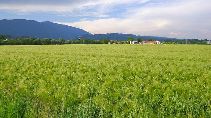 Kornfeld, Getreidefeld, Villach