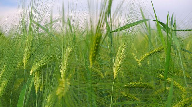 Korn, Getreide