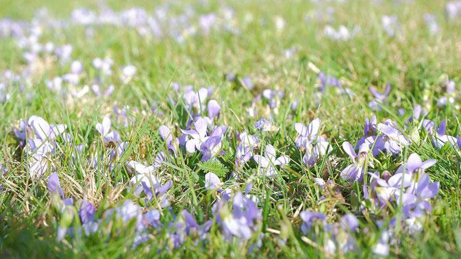 Frühling, Wiese, Veilchen