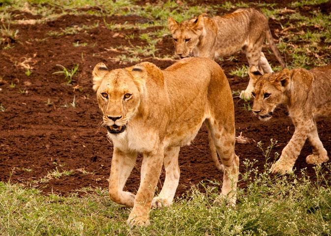 Ausgeruht zieht die Löwenfamilie weiter