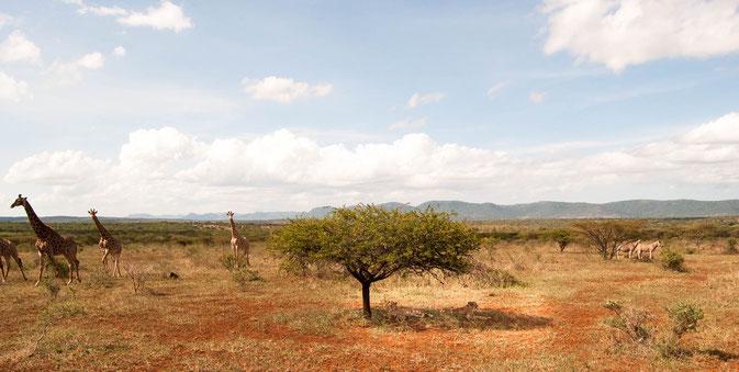 Cheetahs in der Mitte unter dem Baum (ich hoffe, Ihr könnt sie ausmachen - Suchbild 😉), umringt von Zebras und Giraffen (und uns)