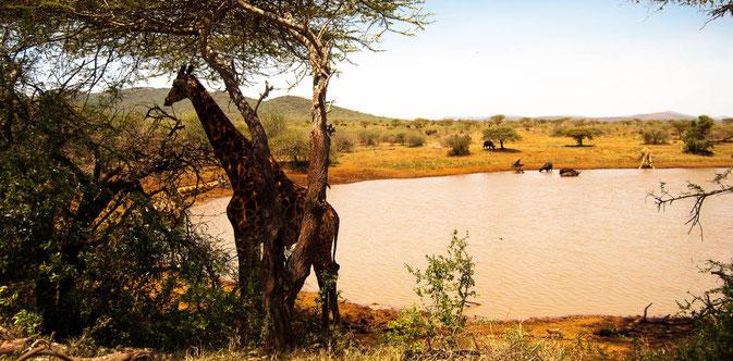 Die Tiere suchen die Wasserlöcher - bei 35° an diesem 25.12.2014