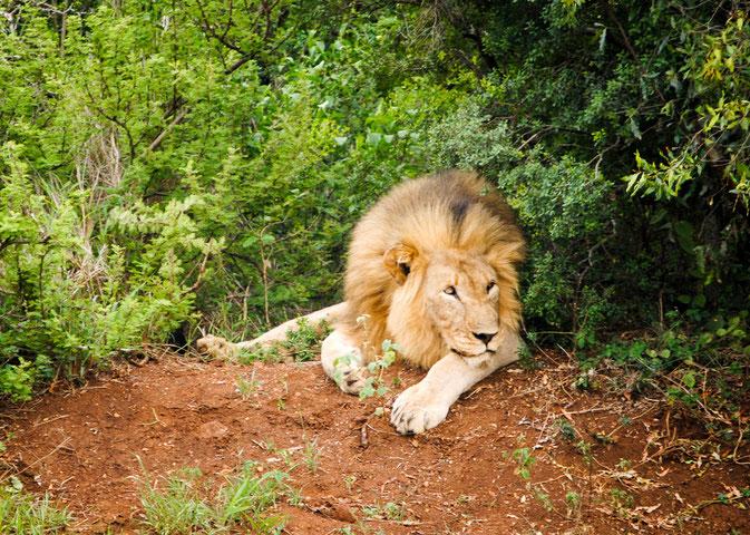 Lion III.