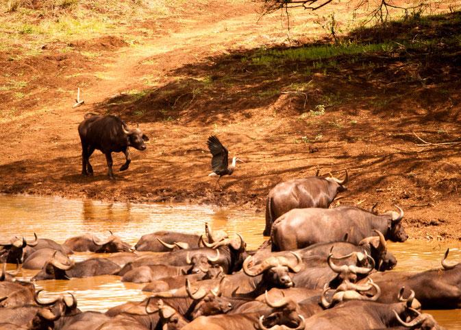 Während der eine Büffel Fangen mit dem Vogel spielt, döst der Rest der Meute in der Sonne.