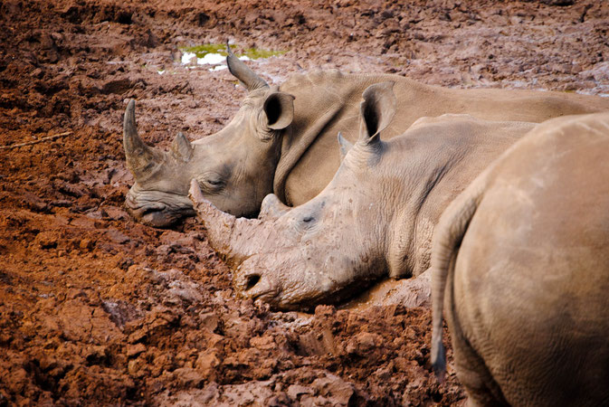 Sleeping Rhinos