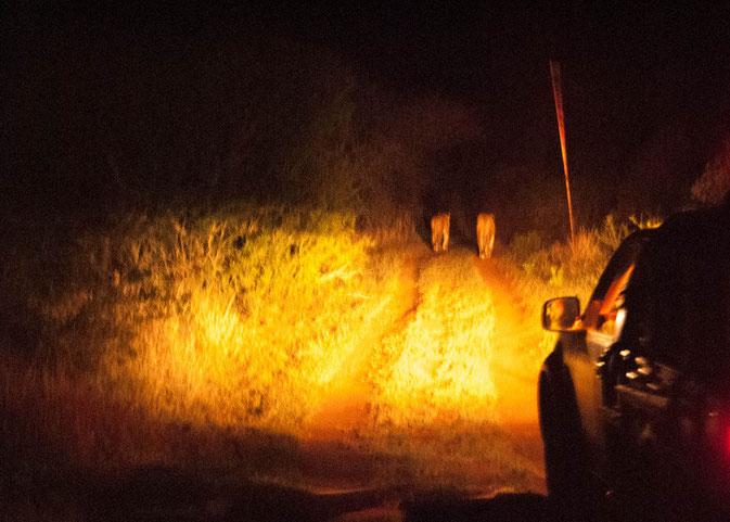 Verfolgung der zwei Löwen beim Night Drive. Noch war der Weg schön breit.....