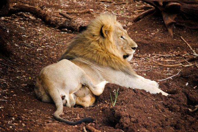 Lion II.