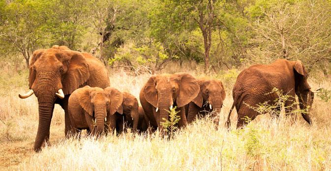 Diese Elefantenfamilie fasziniert uns schon, nicht ahnend, an was uns die Löwenfamilie wenige Minuten später teilhaben lässt.