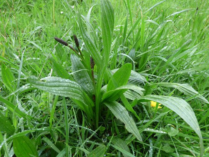 Plantain Lancéolé