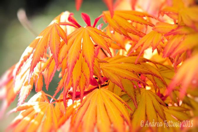 Ahornblätter herbstlich verfärbt, Foto Andrea Fettweis