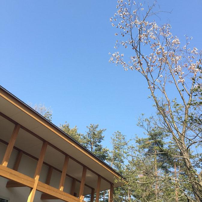 イグレックの山桜が満開です!高い木なので空を見上げた方だけ見つけられます^^