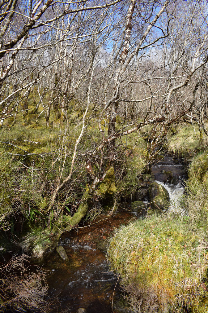 Inver birch woods, Raasay
