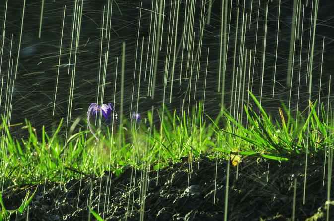 Krokus im Aprilregen