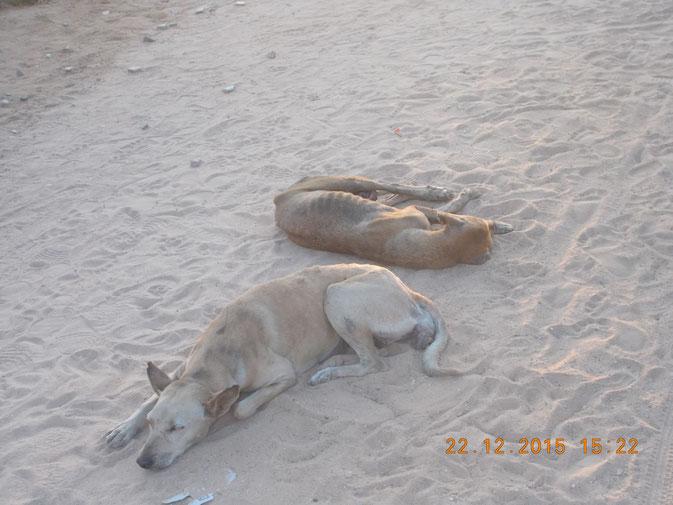 Индийские собаки. Индия. Незлобные.
