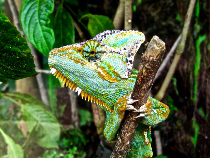 Chameleon in Colombia