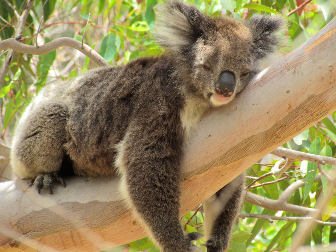 Lazy Koala in Perth