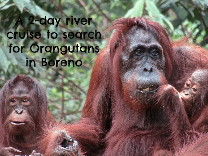 where to see orangutans
