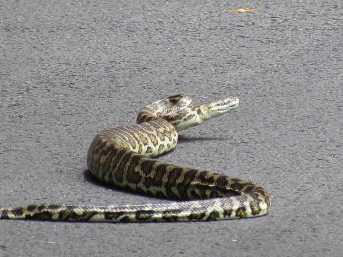 Random snake in Western Australia