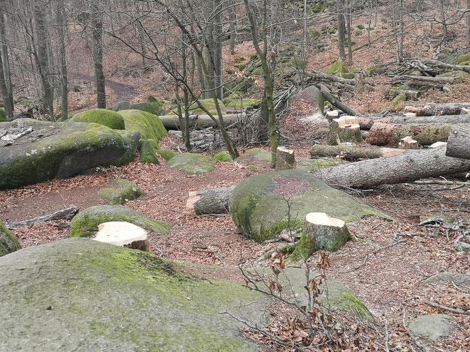 Fällmaßnahmen im NSG ohne Rücksicht auf die einzigartige Verbindung von Fels und Wald © Y.  Albe