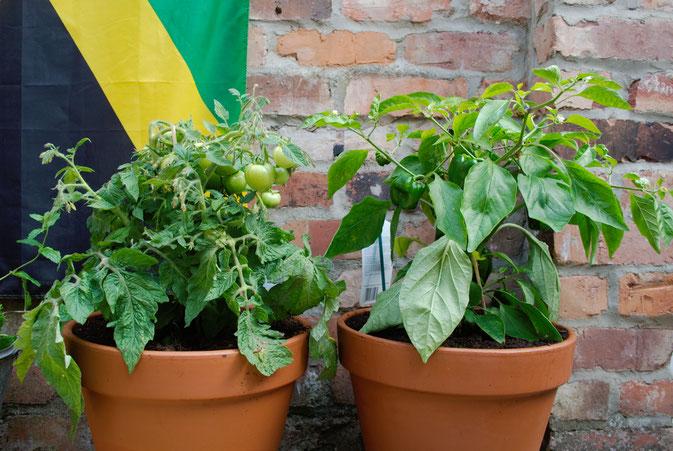 DIY zu Hause - so lebe ich - Tomaten und Paprika im Hof - Zebraspider DIY Blog