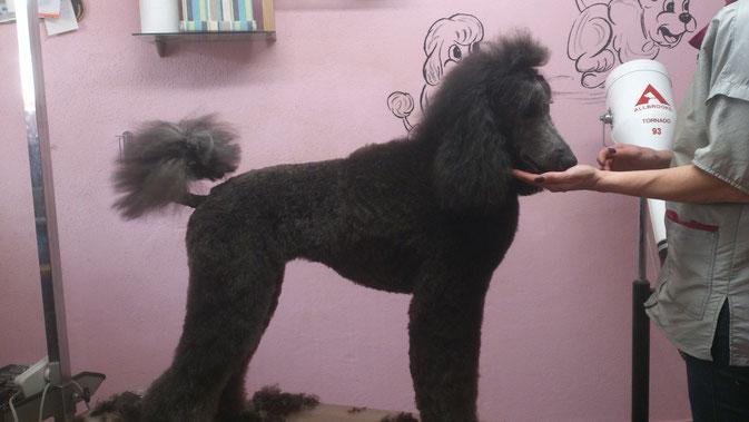 Puppy Clip vom Profi Friseur - Jedem wie es ihm gefällt ! Lola fand die Leckerli unschlagbar:))