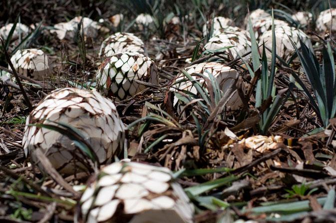 Piñas de agave