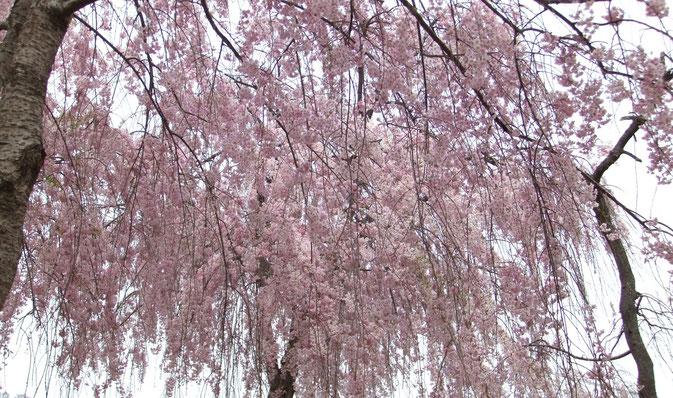 八重の紅枝垂れ桜(Miyuki)