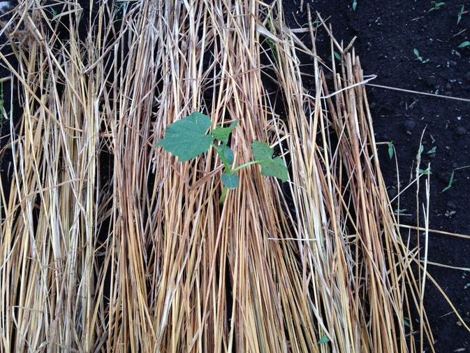 植えたばかりのキュウリの苗